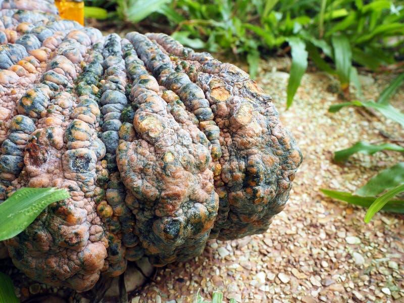 粗砺的绿色和黄色皮肤南瓜在有行动迷离的庭院里 库存图片
