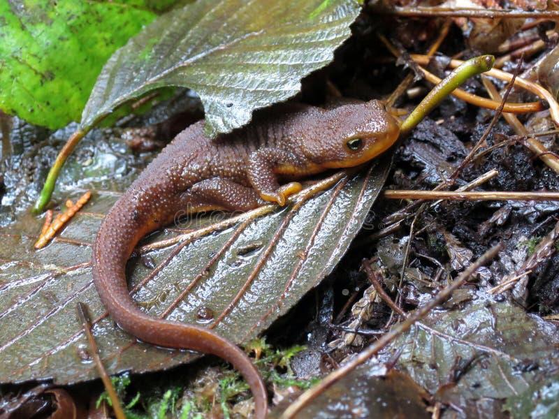 粗砺被剥皮的蝾螈在森林里 免版税库存照片