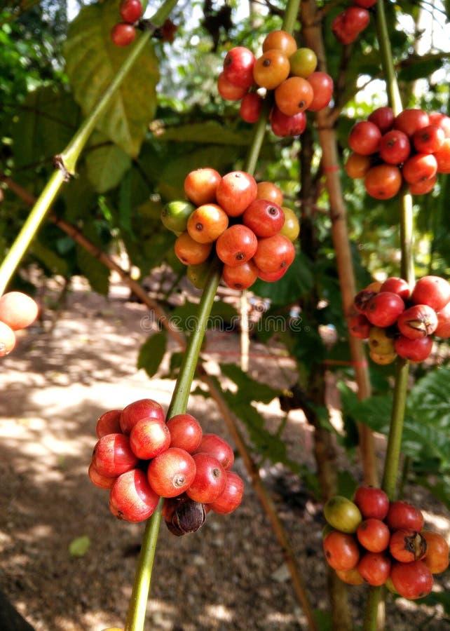 粗粒咖啡植物树 成熟红色樱桃豆形成Ratchburi,泰国 库存图片