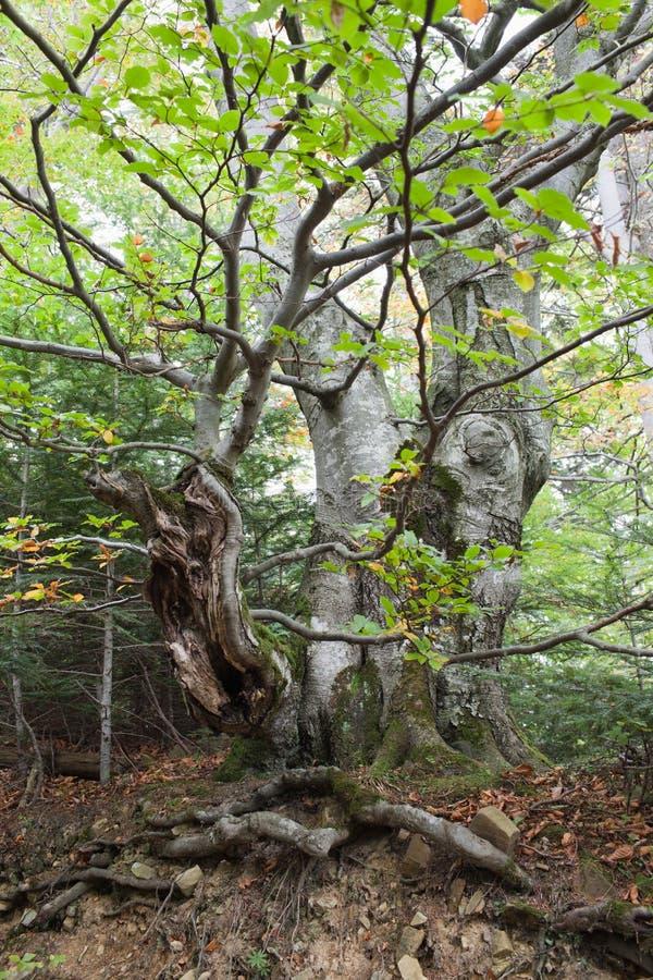 粗糙的山毛榉树 库存图片