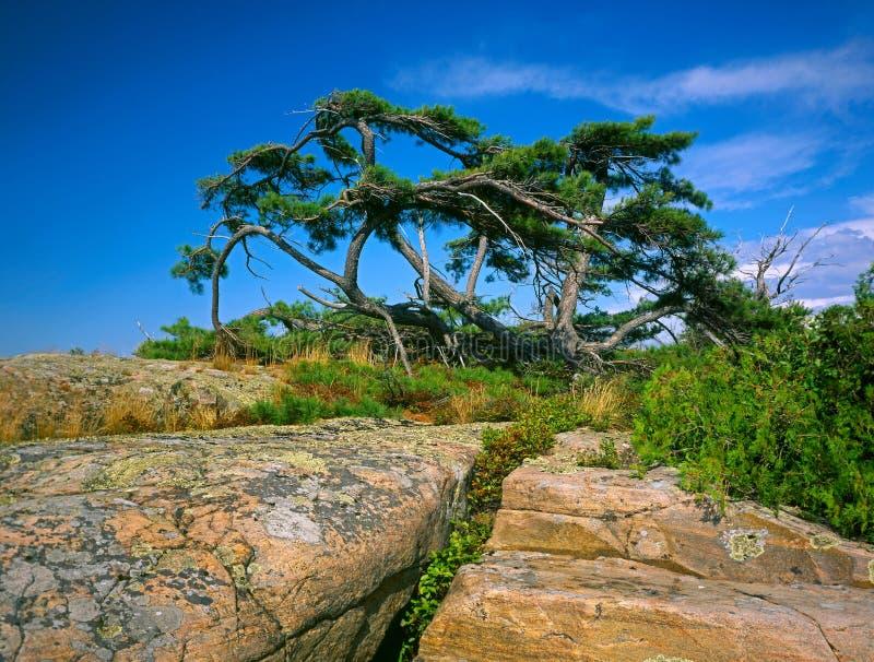 粗糙的杉木 免版税库存照片