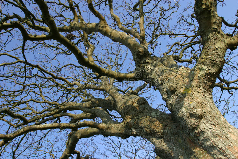 粗糙的老结构树 免版税库存图片