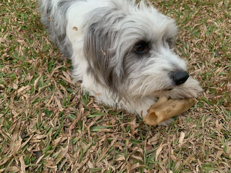 粗野的白色毛皮狗采取一根大骨头并且使用与所有者 免版税库存照片