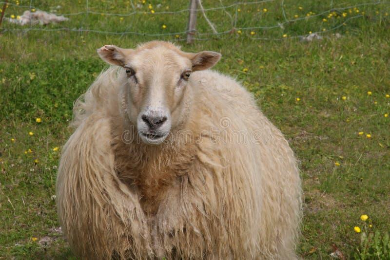 粗野的米黄冰岛绵羊在草甸 库存照片