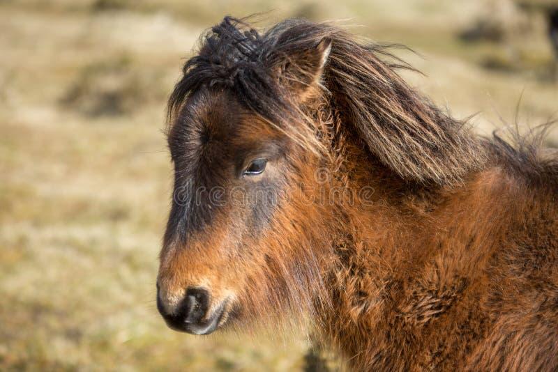 粗野的野生荒野小马,博德明停泊,康沃尔郡 库存照片