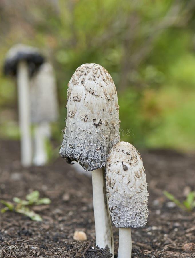 粗野鬃毛的蘑菇 库存图片