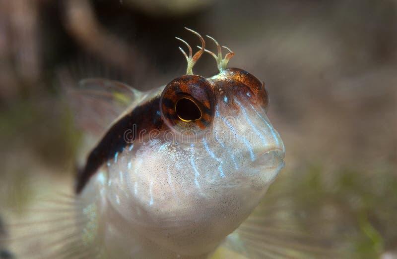 粘鱼展示眼睛 库存照片