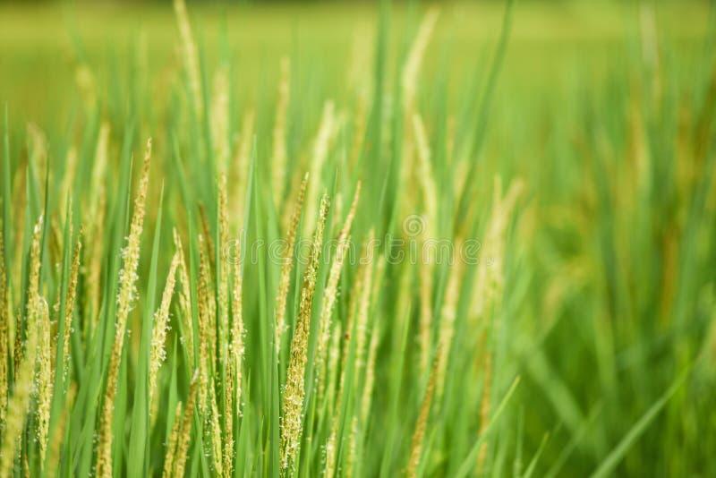 粮食作物米领域 库存照片