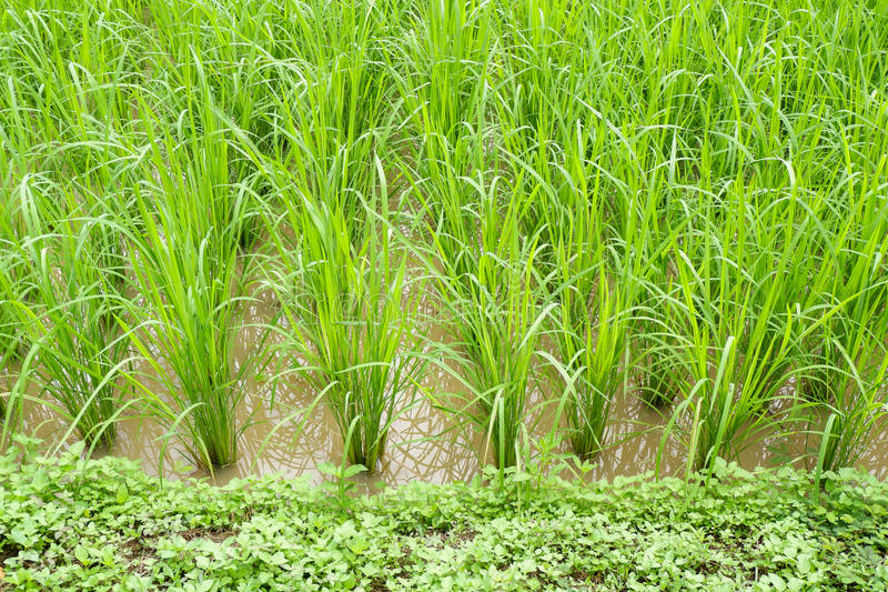 粮食作物 免版税库存图片