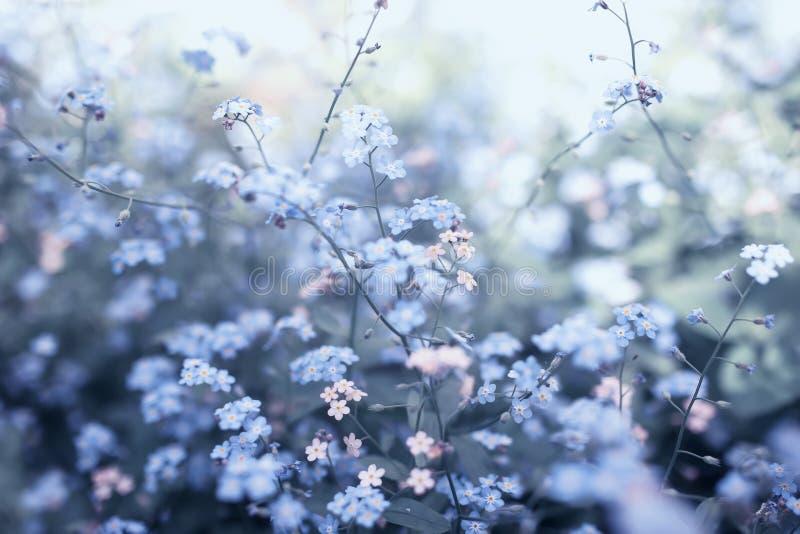 精美小的在春天晴朗的庭院和桃红色开花的花忘记我各种各样的树荫蓝色 库存图片