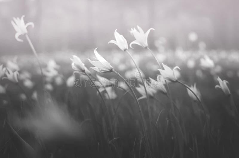 精美春天草甸花 消失的植物种类黑白球状药草scythica sylvestris软的焦点 免版税图库摄影
