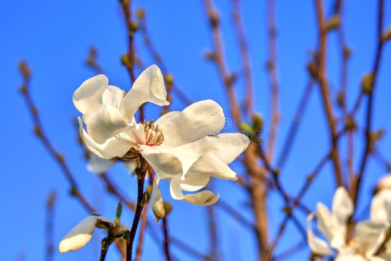精美木兰树白花春天 库存图片