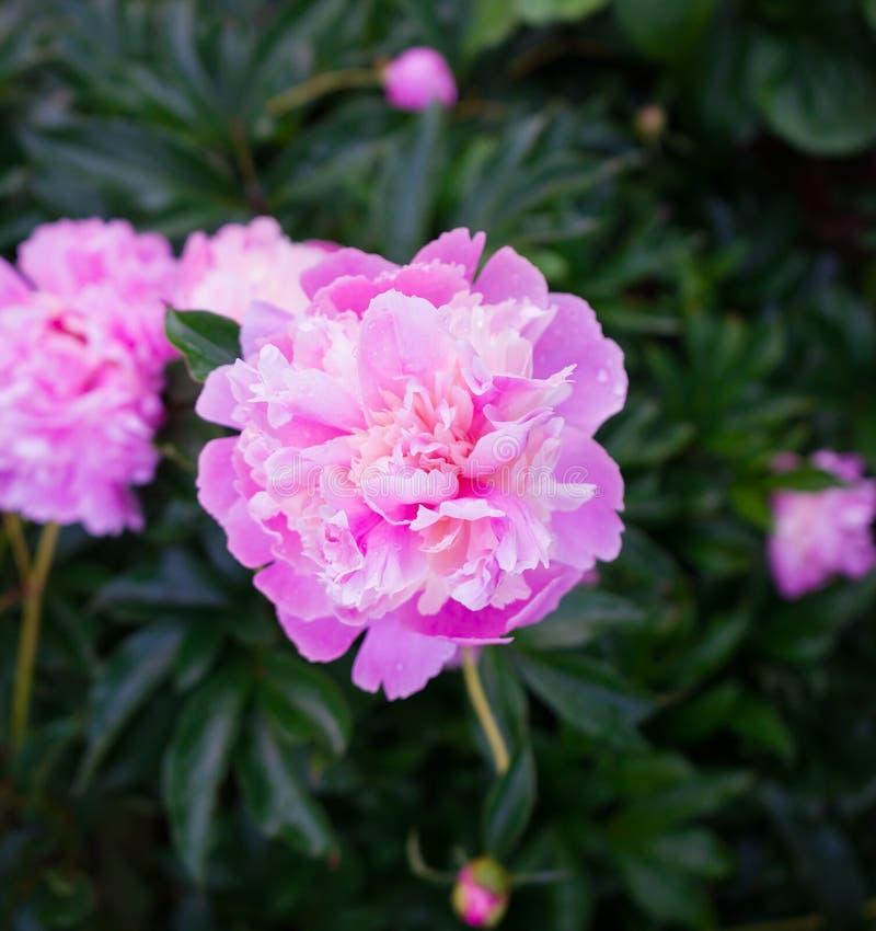 精美桃红色牡丹在庭院里在庭院里 免版税库存照片