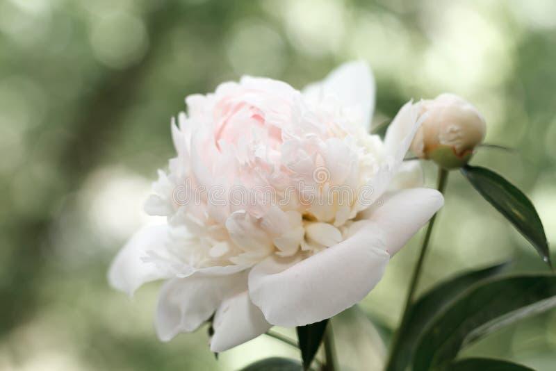 精美桃红色peonie在庭院里 库存图片