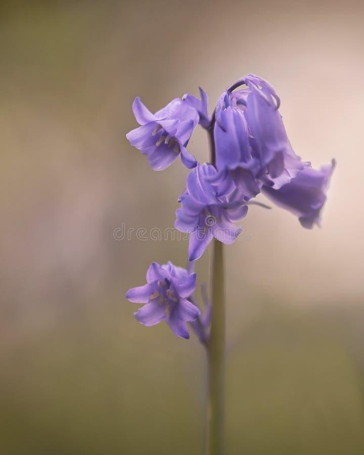 精美樱花在春天阳光下 免版税库存照片