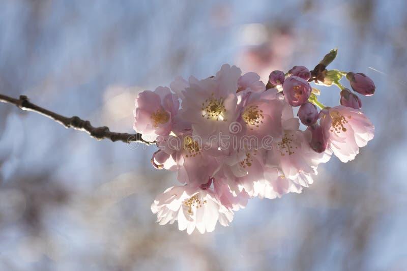 精美樱花在春天阳光下 库存图片