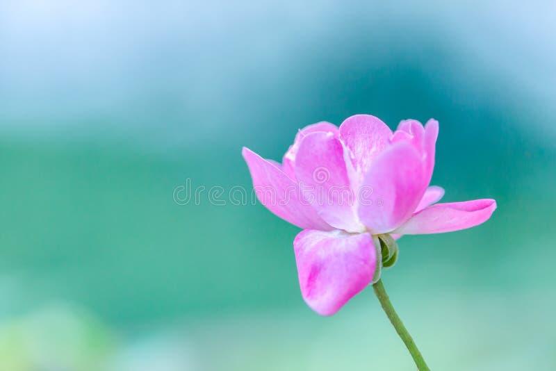 精美浅粉红色上升了反对一浅绿色的bokeh出于焦点背景 免版税库存照片