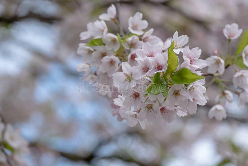 精美浅粉红色的樱花详细的看法,拍摄在摄政的` s公园,伦敦 库存图片