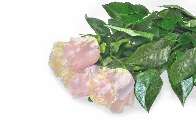 精美淡粉红的玫瑰美丽的花束在白色的 免版税库存照片