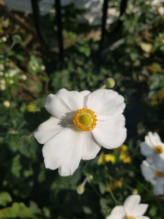 精美白色和黄色花 免版税库存照片