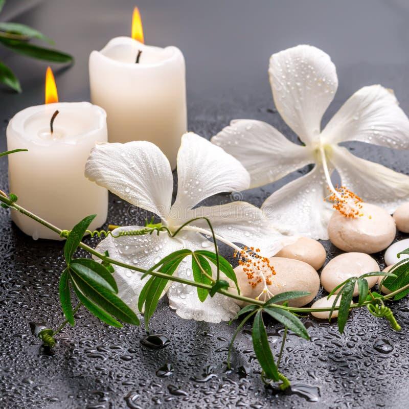 精美白色木槿,枝杈passio美丽的温泉静物画  免版税库存照片