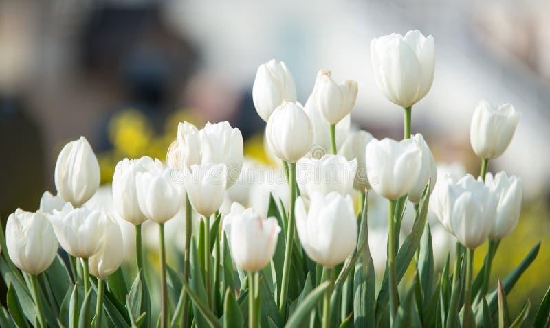 精美白色郁金香在早期的春天开了花在城市公园 免版税库存图片
