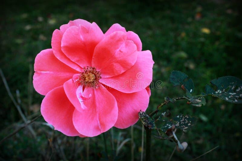 精美美丽的桃红色花在庭院里, 免版税图库摄影