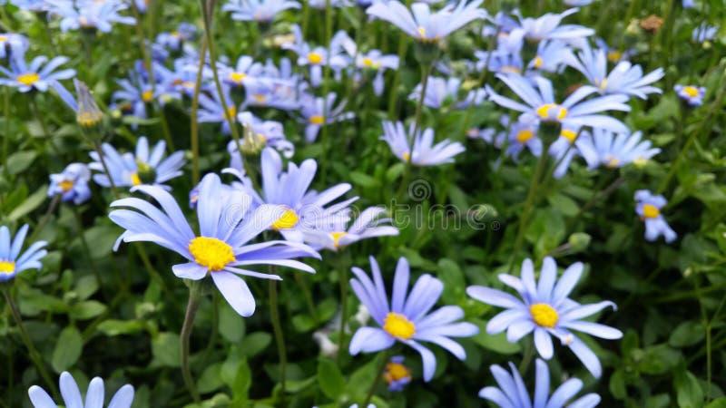 精美蓝色花的领域 免版税图库摄影