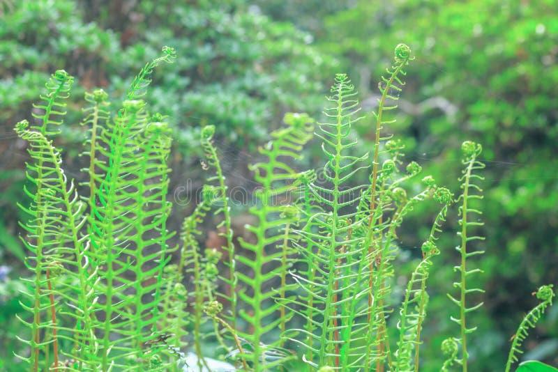 精美蕨叶状体在伊莎贝拉种植园,森林地庭院我 图库摄影