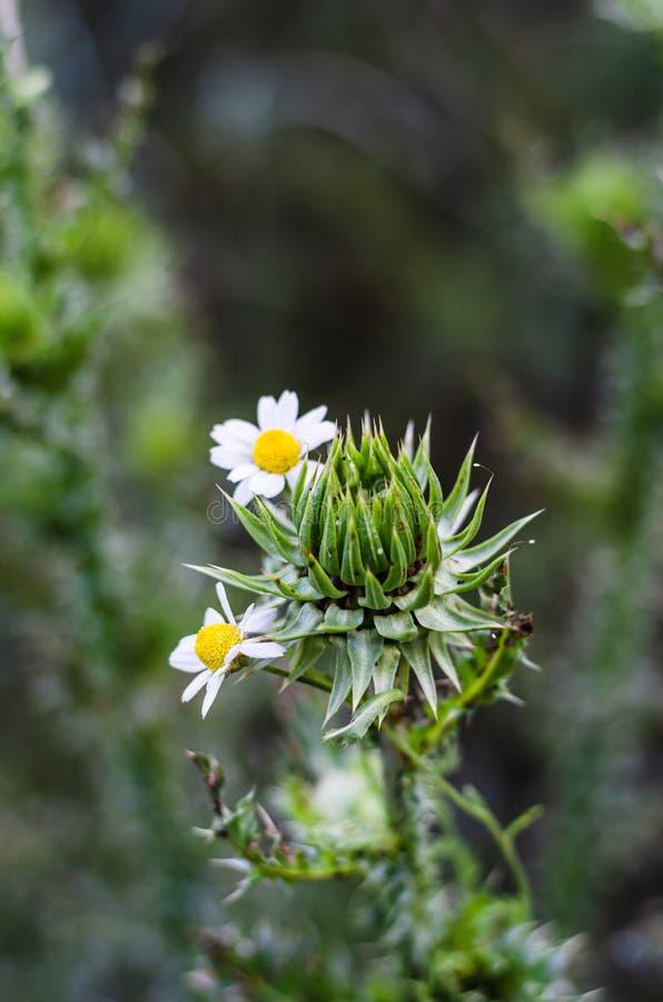 精美雏菊围拢的多刺的蓟 多刺的柔软 库存照片