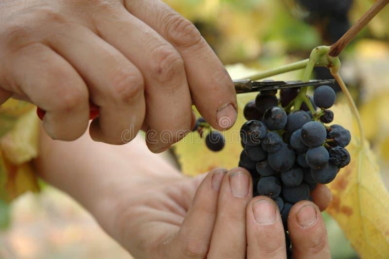 精选noir白比诺葡萄的葡萄 免版税库存图片