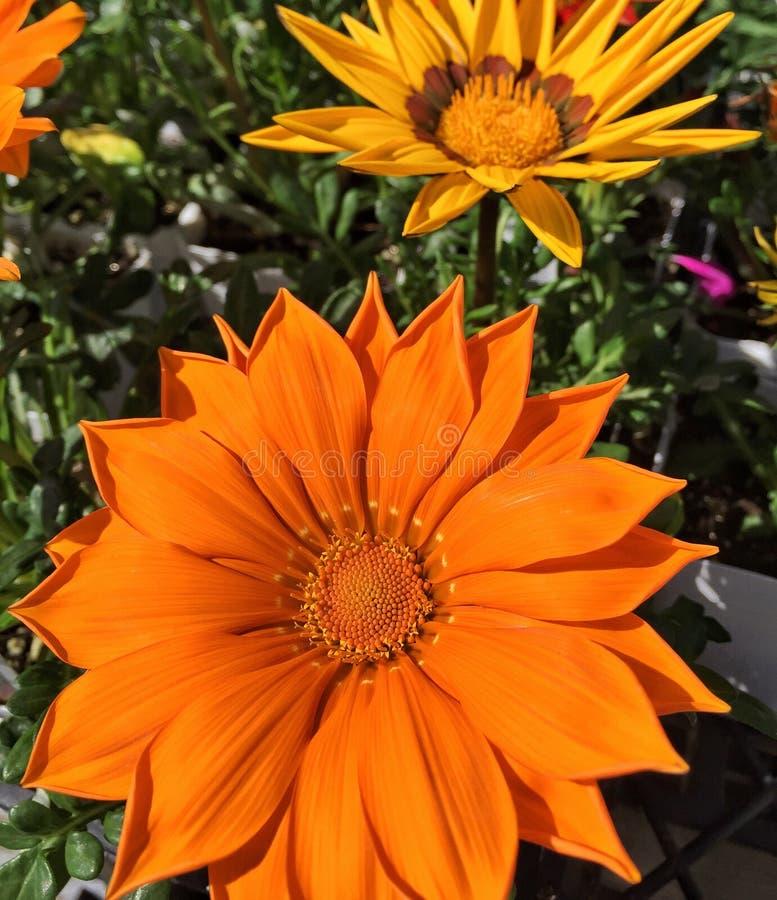 精采橙色杂色菊属植物开花 库存图片
