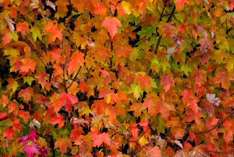 精采橙色槭树叶子秋天背景  免版税库存图片