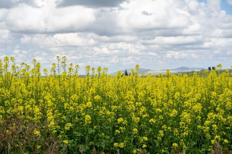 精采,明亮的黄色芥末领域在种田爱达荷西部的区域帕卢斯,在死路附近,ID 库存图片