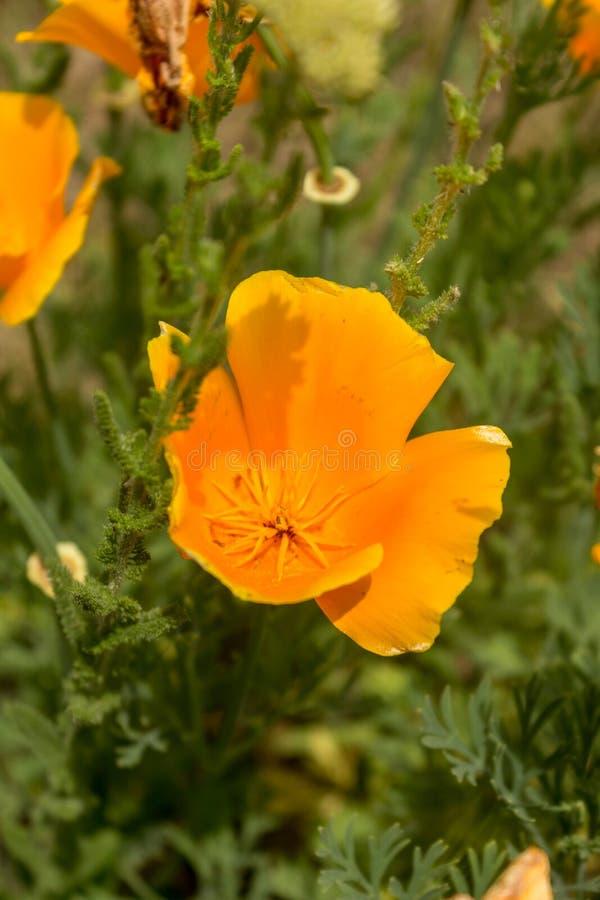 精采Eschscholzia californica加利福尼亚鸦片,金黄鸦片,加利福尼亚阳光,金杯毛茛黄色花  图库摄影