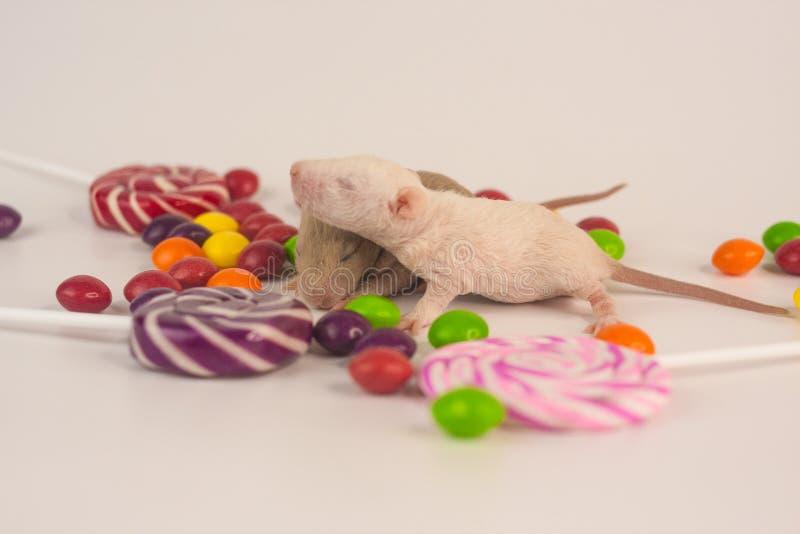 糖尿病的概念 老鼠用糖果 免版税库存照片