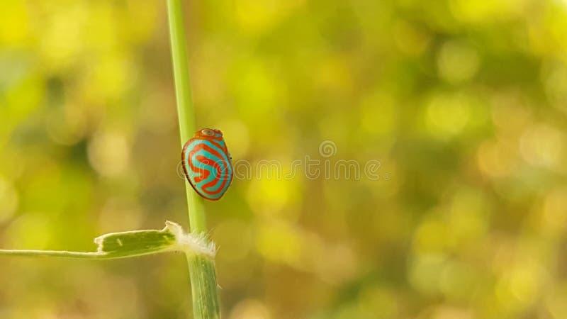 糖果泰国的植物跳跃者 免版税库存照片