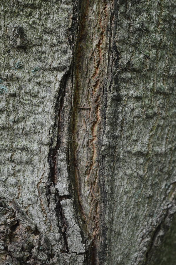 糖槭 图库摄影