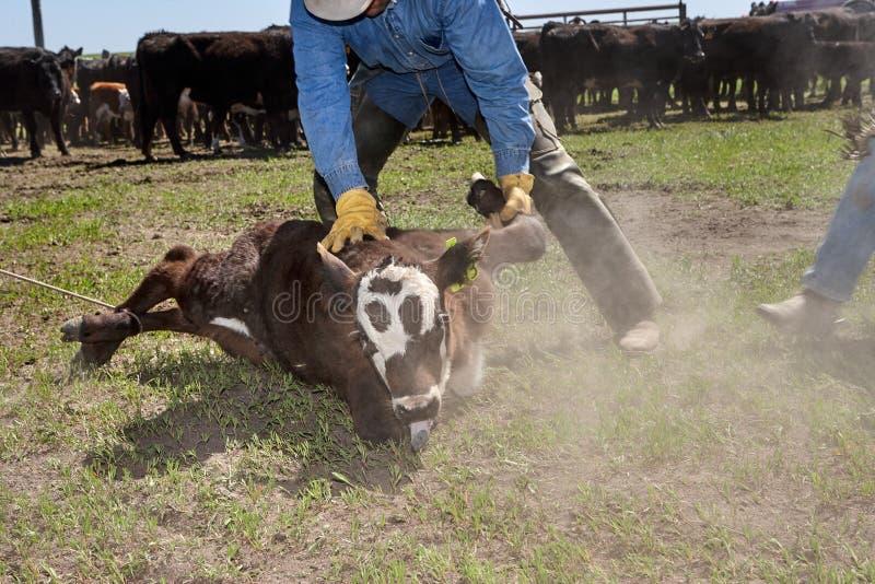 系住一头幼小小牛的牛仔 库存照片