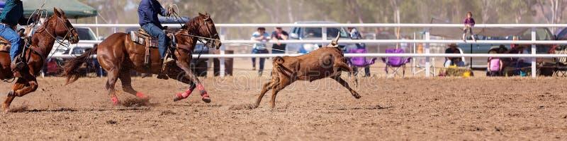 系住在国家圈地的队小牛 免版税库存照片