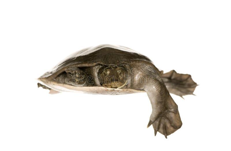 系列壳软的trionychidae乌龟 免版税图库摄影