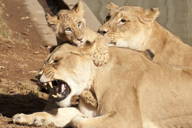 系列狮子 免版税库存图片