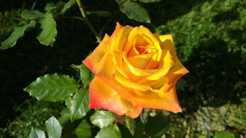 索契秋天黄色玫瑰 库存图片