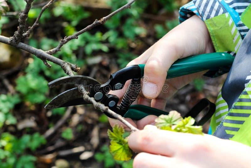 紧密婴孩的手切口分支在他的庭院里 花匠的手裁减从与修剪剪刀的灌木分支 o 免版税库存图片