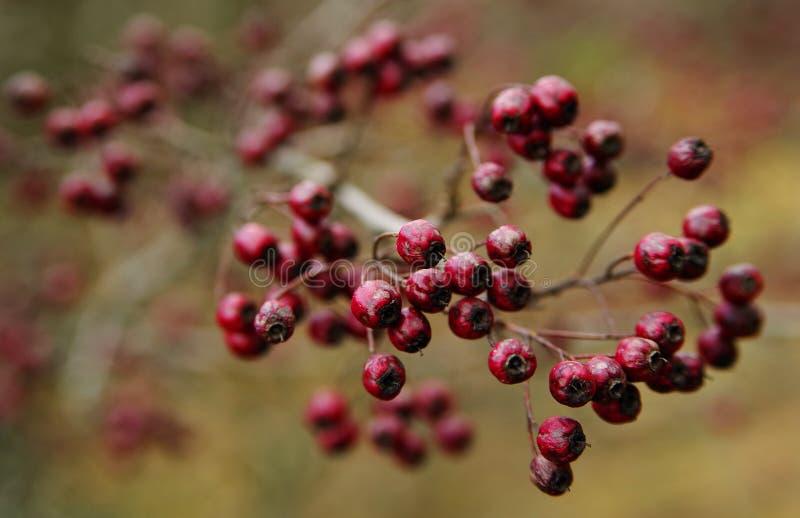 紧密成熟狂放玫瑰果果子在早期的春天 库存图片