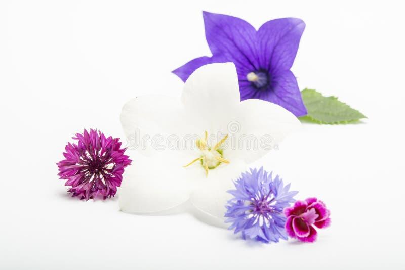 紧密白色和紫色吊钟花和矢车菊,隔绝在白色背景 库存照片