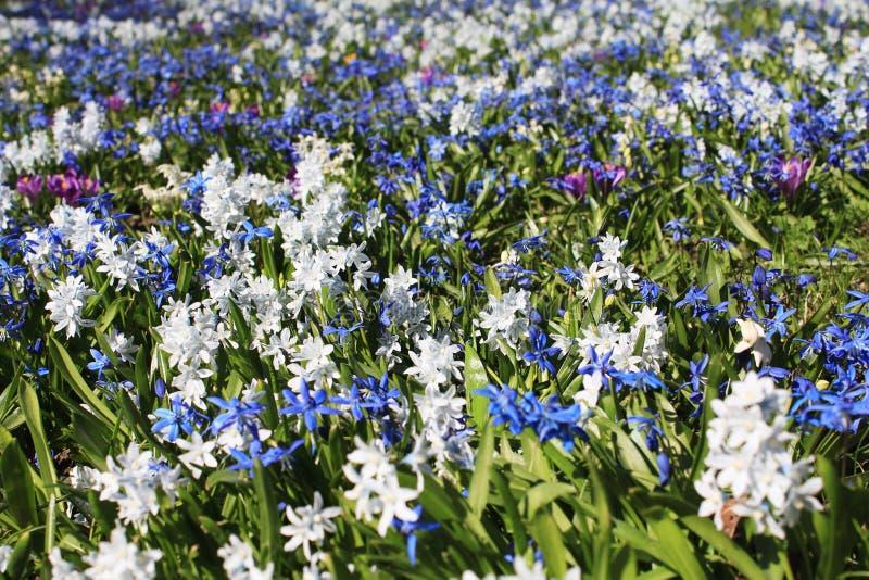 紧密第一朵春天花花卉背景  皇族释放例证