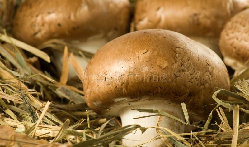 紧密蘑菇蘑菇的图象 免版税图库摄影