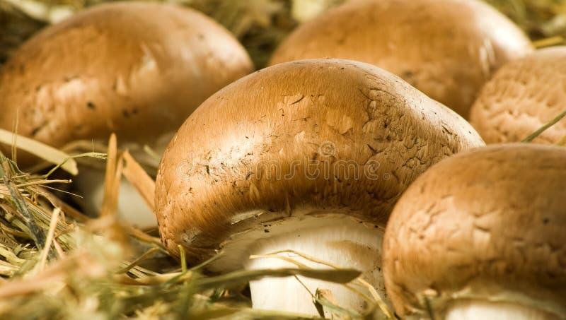 紧密蘑菇蘑菇的图象 库存照片
