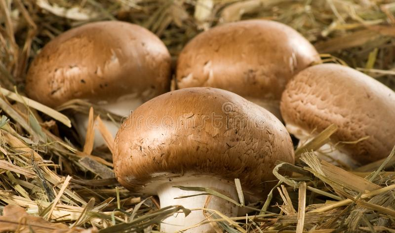 紧密蘑菇蘑菇的图象 库存图片